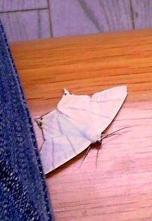 白い蝶の画像2