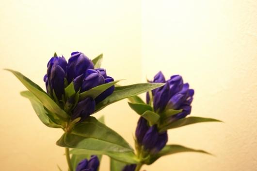 りんどうの花画像