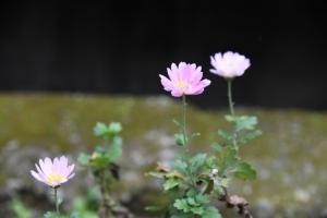小さな菊の花の画像