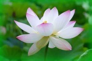 蓮の花の画像