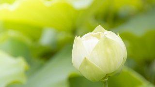 白い花のつぼみ